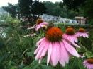 Eastern Cone Flowers